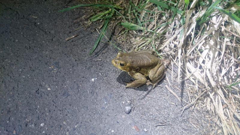 ヒキガエルをはじめとした北海道の外来種問題について