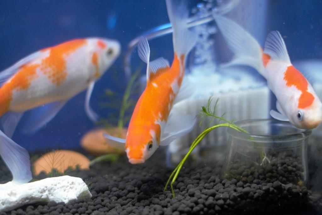 金魚 コメット