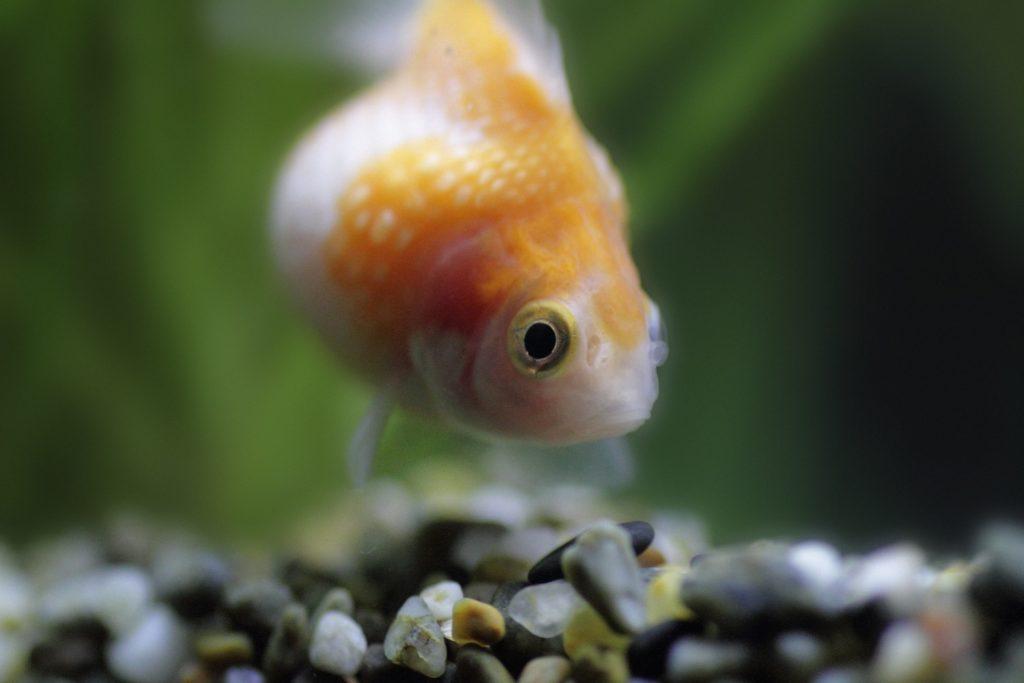 金魚 ピンポンパール