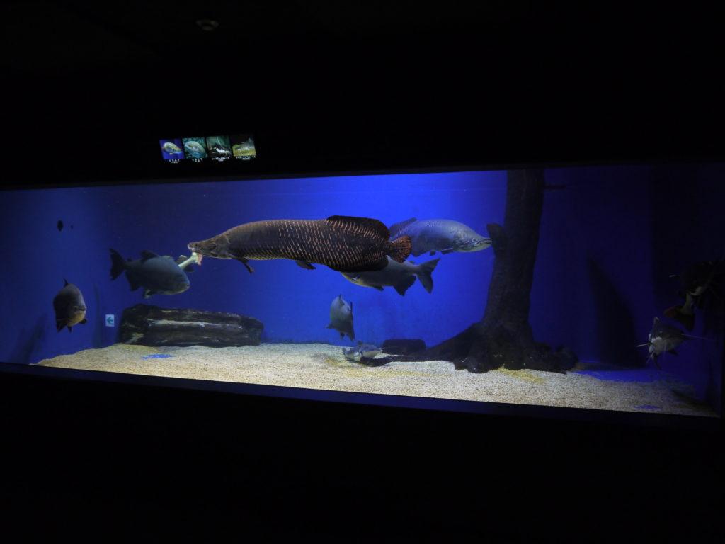 ピラルク 山の水族館