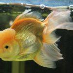 プロが答えるQ&A『金魚の肉瘤を大きくする方法は?』