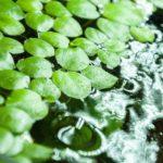 ベタには浮草!ベタ水槽に浮草を入れるメリットや枯らさないポイントをやさしく解説