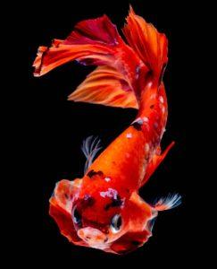 ベタ プラカット コイベタ 鯉