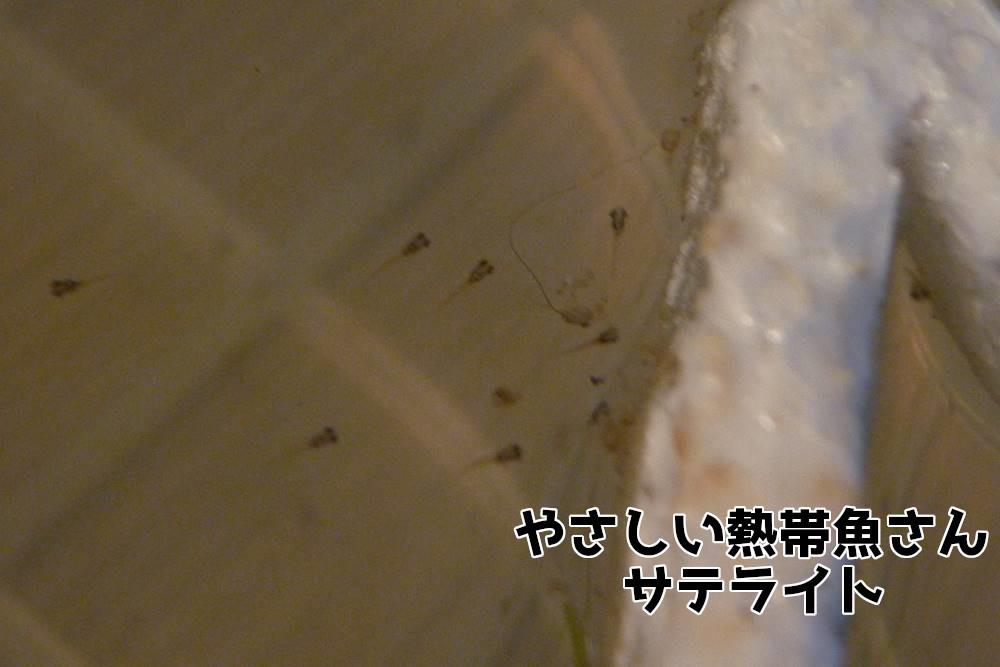 ベタ 稚魚 繁殖