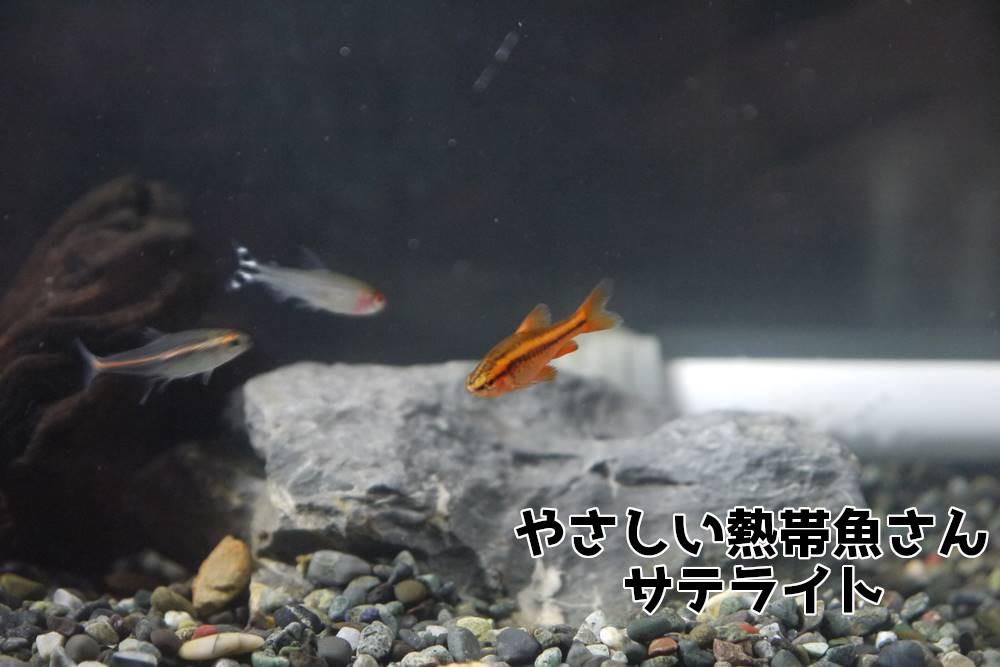 チェリーバルブ 混泳
